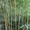 un jardin de collectionneur de bambou