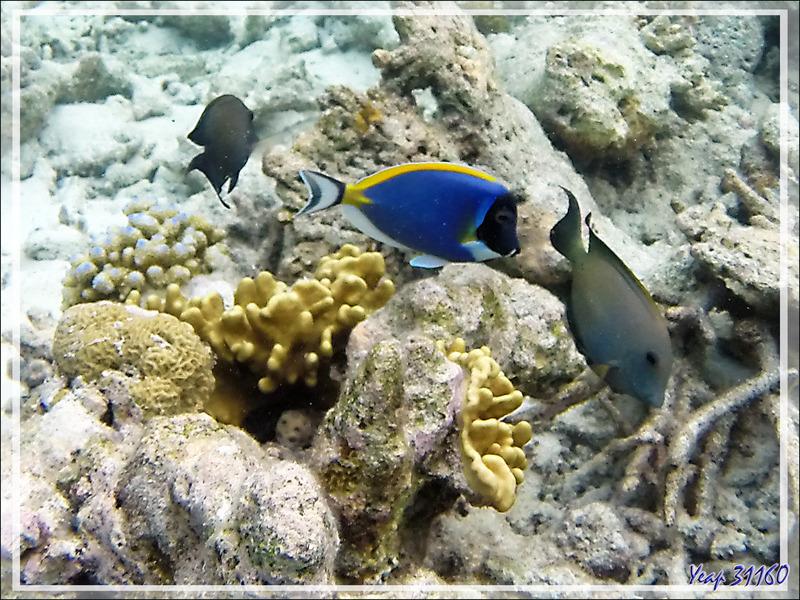 Snorkeling : Chirurgien à poitrine blanche et Chirurgien strié - Moofushi - Atoll d'Ari - Maldives