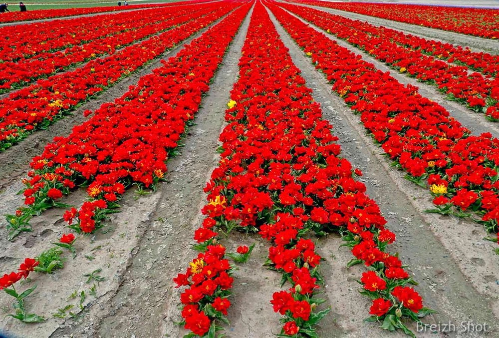 Tulipes en fleur