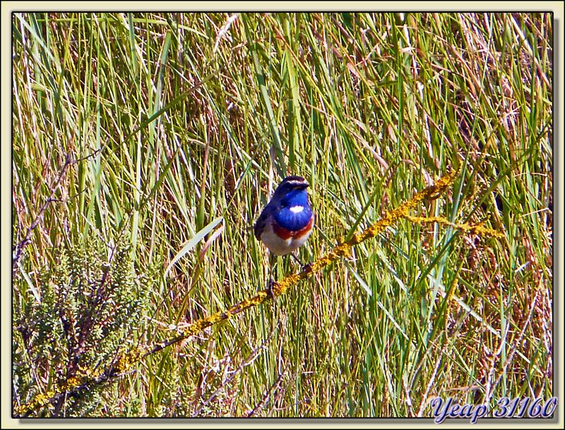 Gorge-bleue à miroir, Bluethroat (Luscinia svecica) - Ars-en-Ré - Ile de Ré - 17