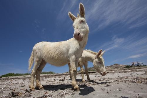 l'âne de l'Asinara