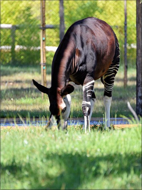 Photo d'Okapis du Zoo d'Arcachon
