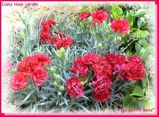 dans mon jardin oeillets rouges pf