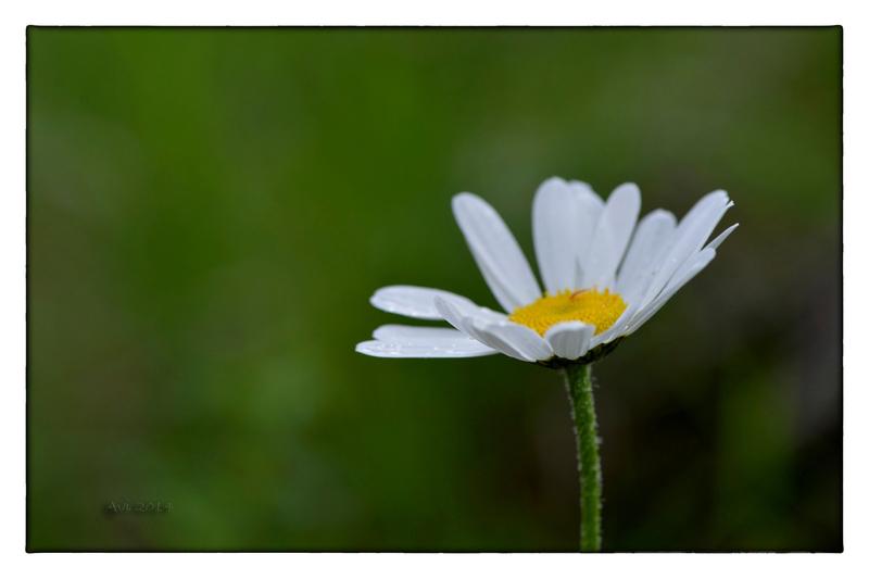 Fleurs d'été : Marguerites