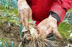légumes destinés à être jetés, glânés!
