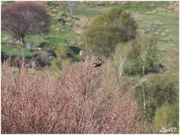 Oiseaux-3-5634-coucou-femelle-800x600.jpg