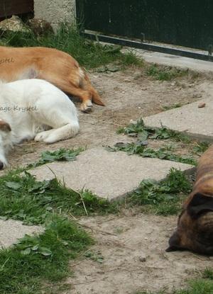 Chiens d'une amie - 2 femelles (marron clair et blanche) et un mâle (Boxer)