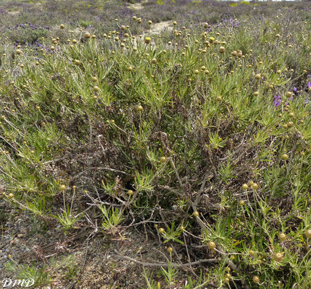 Phagnalon saxatile  -  phagnalon des rochers