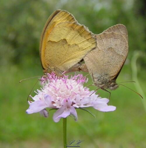 Duo amoureux de papillons Myrtil
