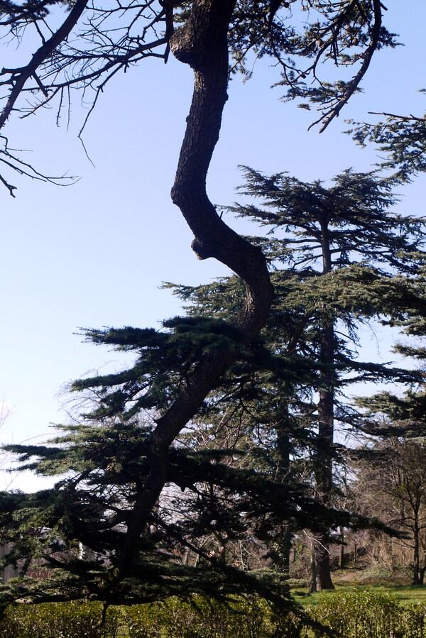 VARIATION  SUR  LE  CEDRE  DU  LIBAN