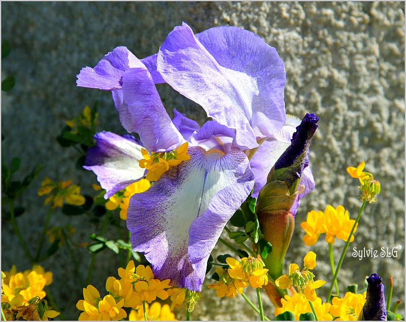Fleur d'avril