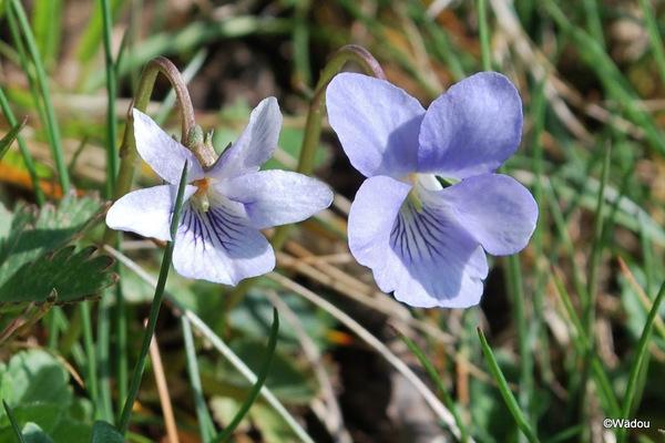 La Violette des montagnes  (Viola canina L. subsp. ruppii)  Violaceae