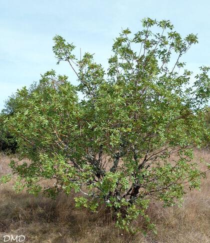 Pistacia terebinthus - térébinthe