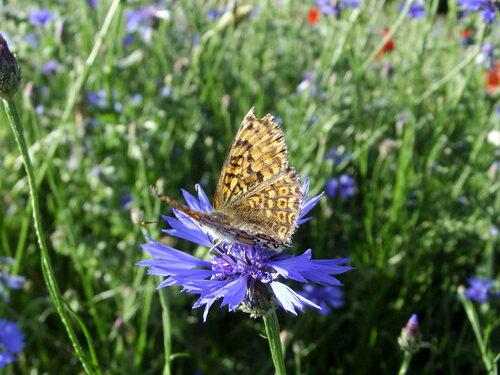 photo fleur sauvage et papillon sylvie le brigant