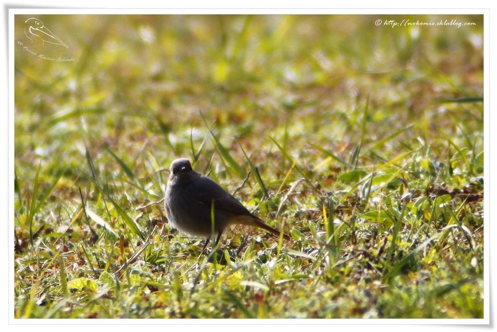 Rougequeue noir femelle - Phoenicurus ochruros