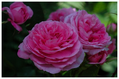 Mes plus belles photos de roses ...