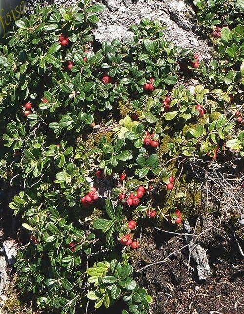Vertus médicinales des plantes sauvages : Airelle