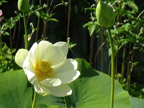 Jardin-du-Prahor-8-08-12-Lotus-IMG_0450.JPG
