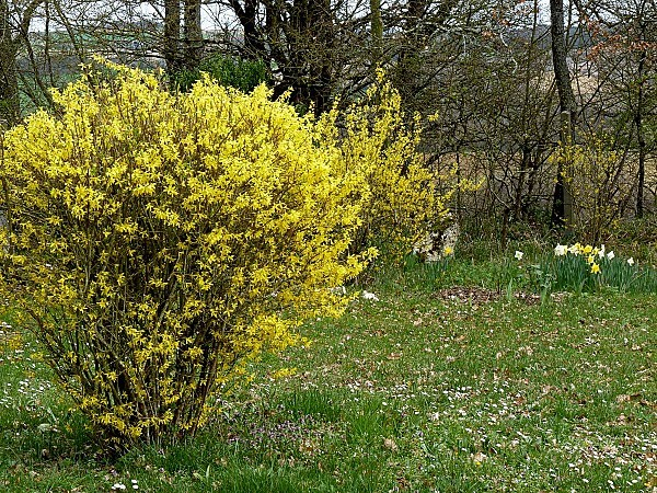 Forsythia 2 narcisses