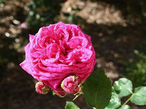 Les roses de Warren : Ellen of the Glen