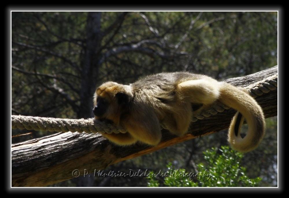 Singes Hurleurs (Parc zoologique de Montpellier)