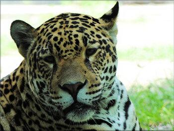 Photo de Jaguar - nouveauté au Zoo de Pessac