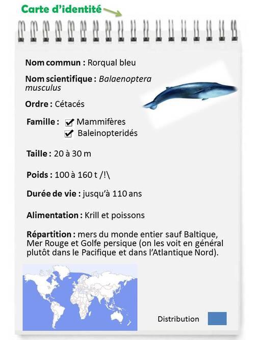 JANVIER : l'imposante baleine bleue