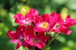 Inventaire des 76 rosiers du jardin