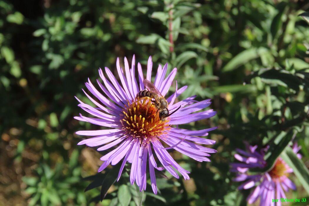 une abeille sur mes asters