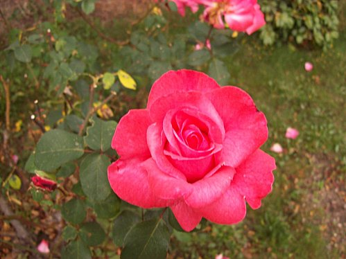 rose rouge33