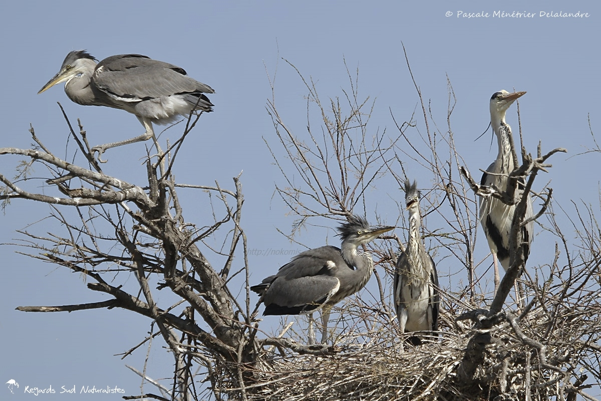 Les Hérons cendrés en famille au nid