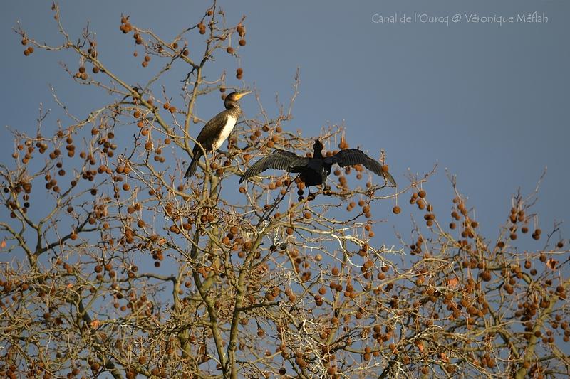 Canal de l'Ourcq, Parc de la Villette Paris 19ème : Le grand cormoran