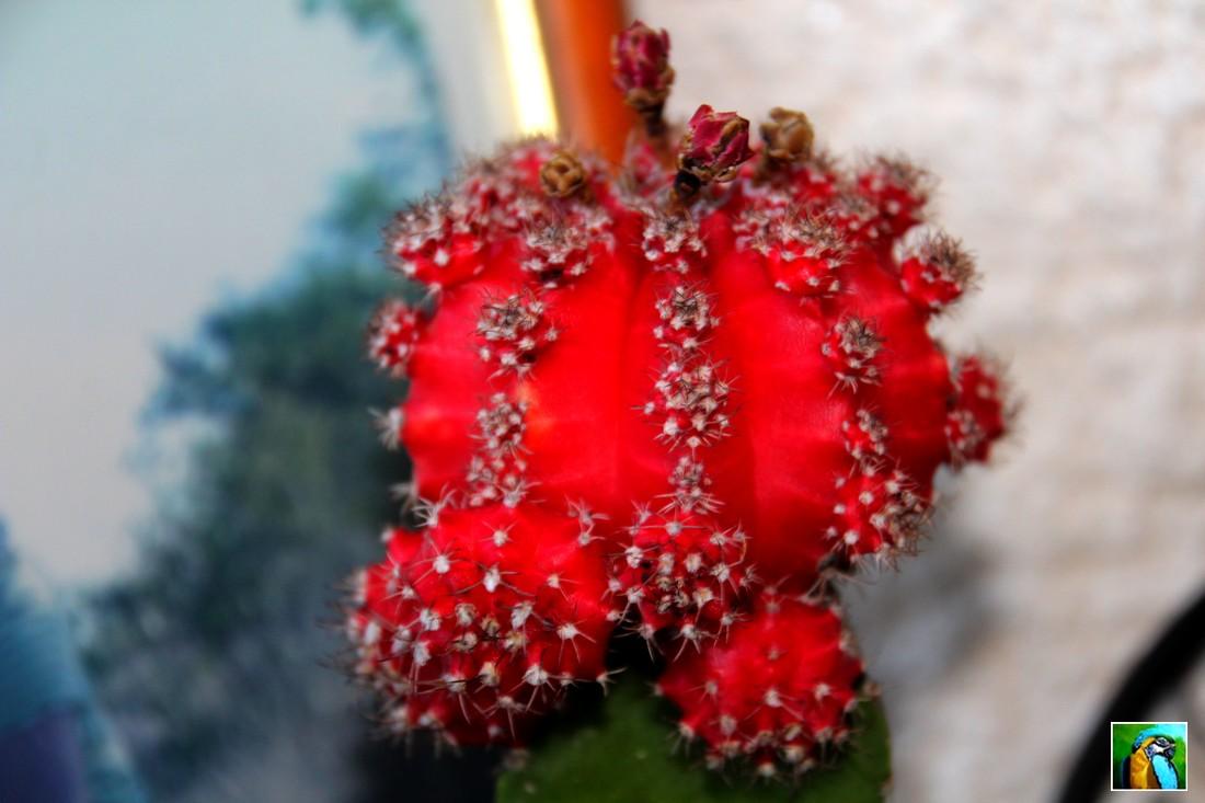 Cactus de Noël ou Schumbergera