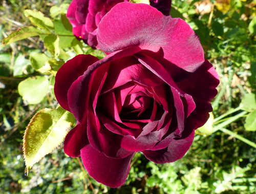 les roses 2018  5