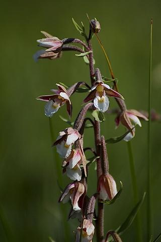 Epipactis palustris - Epipactis des marais