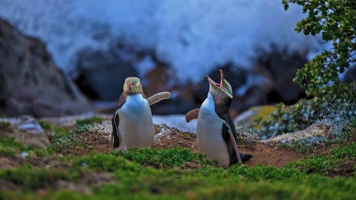 Pingouins aux yeux jaunes, Moeraki, Nouvelle-Zélande
