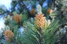 """Résultat de recherche d'images pour """"images de pins plein de pollen"""""""