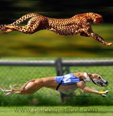 Un Guépard et un Greyhound ..