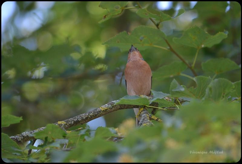 Rambouillet : Pinson des arbres (mâle)