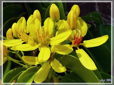 Liane Etoile d'Australie, Douche d'or, Vigne d'Or australienne (Tristellateia australasiae) - Huahine - Polynésie française