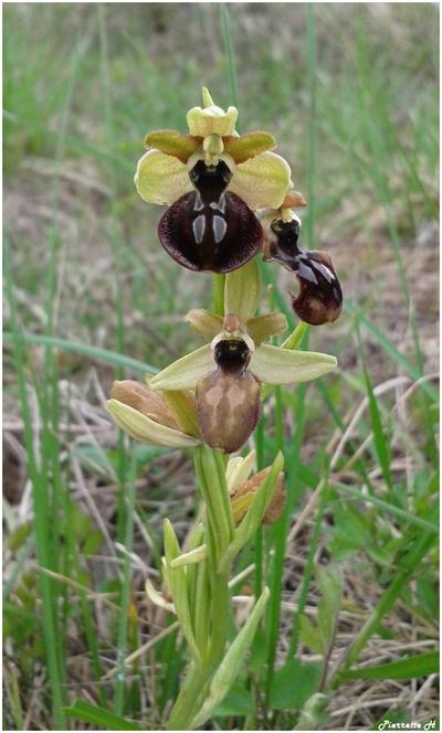 Ophrys araignée de la passion