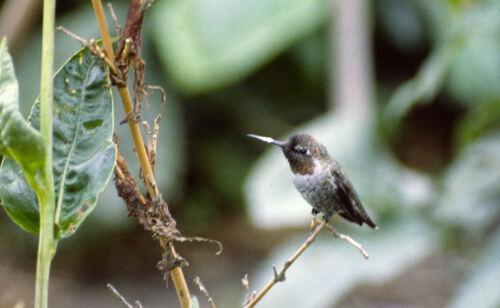 Colibri Roux Californie