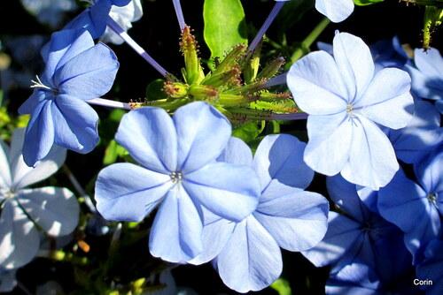 Les fleurs bleues du plumbago