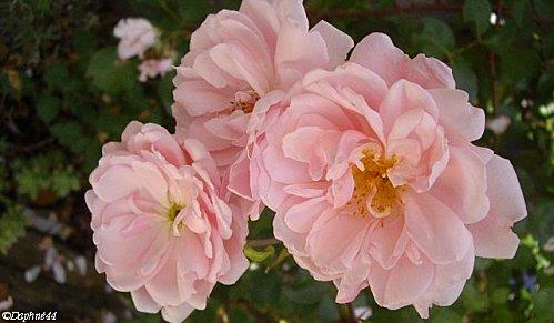 roses pales