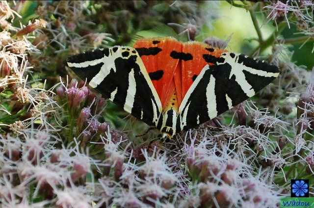 l'Écaille chinée, Tigre Jersey ou Callimorphe (Euplagia quadripunctaria) Arctiinae