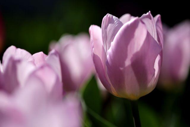 Tulipes 2020 : Alibi