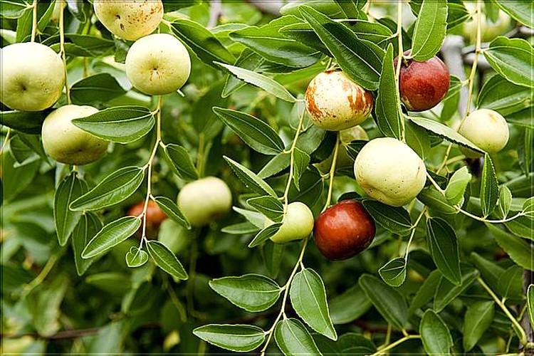 Le Jujubier, plante rare et utile