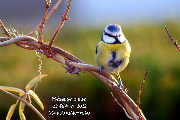 MESANGE-BLEUE-AAA-IMG_1948.JPG