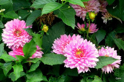 Belles fleurs du dahlia