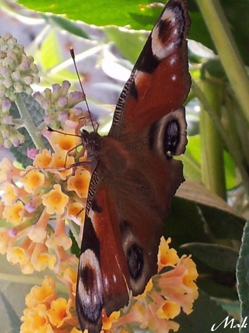 Au coeur de mon jardin - Phlox paniculé, Phlox vivace